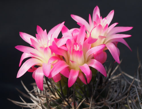 ニグリホ花