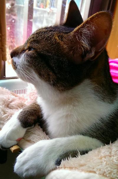 豊中市中桜塚迷子猫「かも君」
