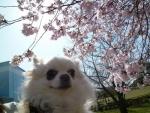 早咲き桜まりあ