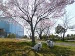 早咲き桜ちゃぴまり