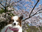 0405ぴー桜