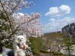 0405まりあ桜