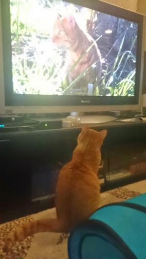 TVを観る猫ハワイ島2