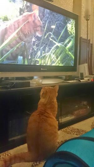 TVを観る猫ハワイ島1