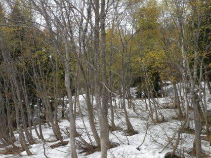 07 温井の残雪とブナの新緑