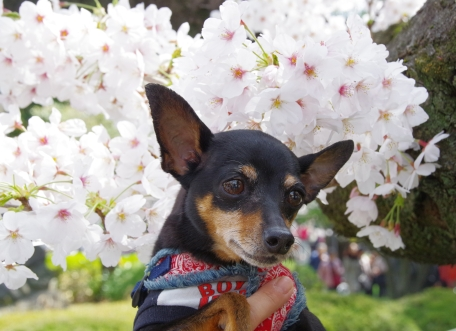 満開の桜~