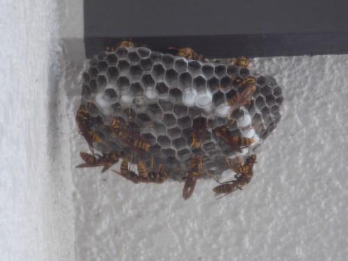 20140817蜂 (3)