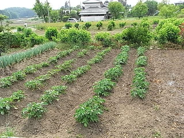 ジャガイモ畑全体