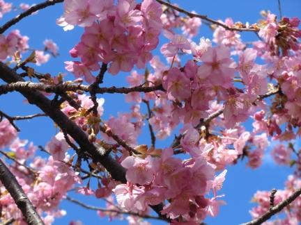 まつだの桜