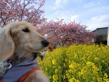 河津桜祭り会場