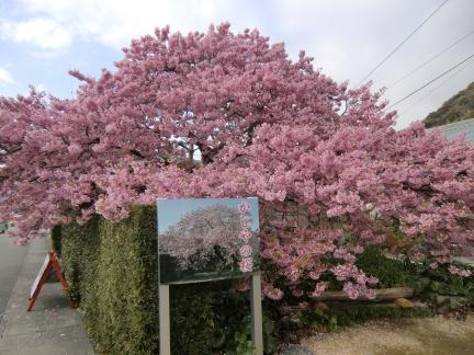 かじやの桜1