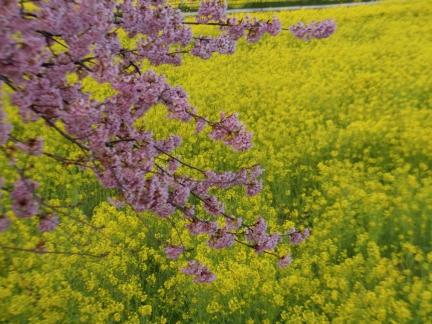 菜の花と桜の共演