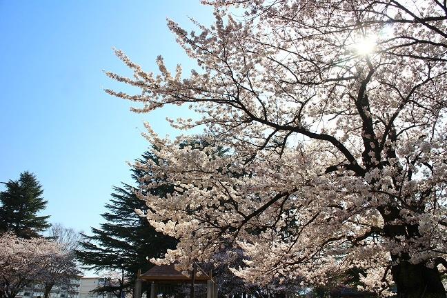 20140415桜2