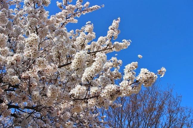 20140415桜3