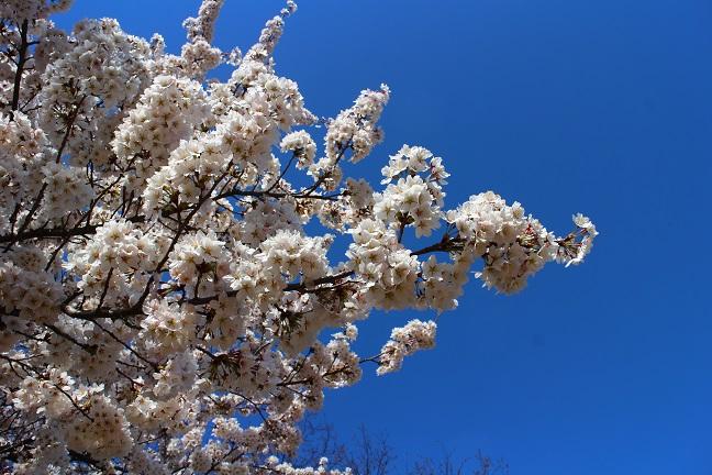 20140415桜4