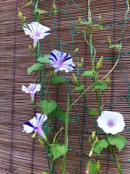 青紫条斑点絞アサガオ