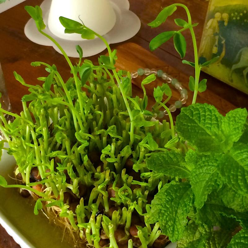 3012_野菜の保存_豆苗