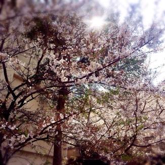 学校前の桜