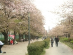 散った桜1