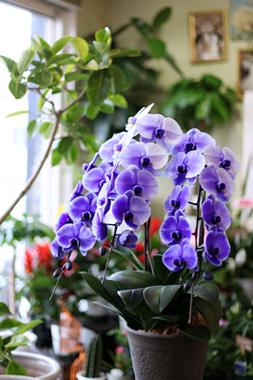 紫の胡蝶蘭「パープルエレガンス」
