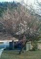 梅の花NEC_0023