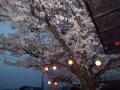 夜桜CIMG2286