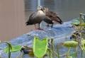 鴨と鷭DSC_0035