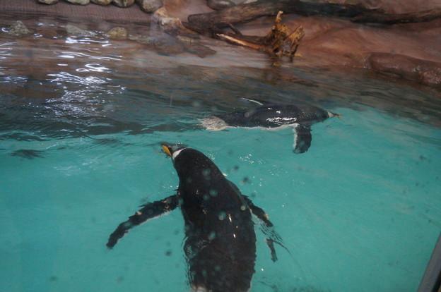 泳ぐペンギンさん