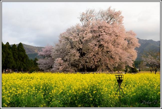 2014年4月5日一心行の大桜 (15)