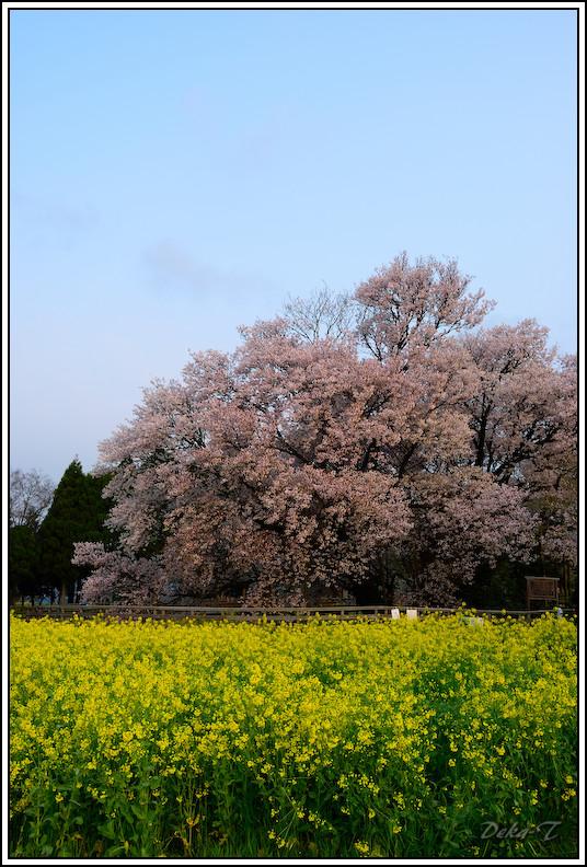 2014年4月5日一心行の大桜 (34)