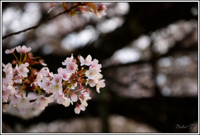 2014年4月5日一心行の大桜 (45)