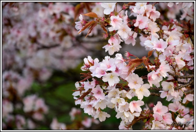 2014年4月5日一心行の大桜 (46)