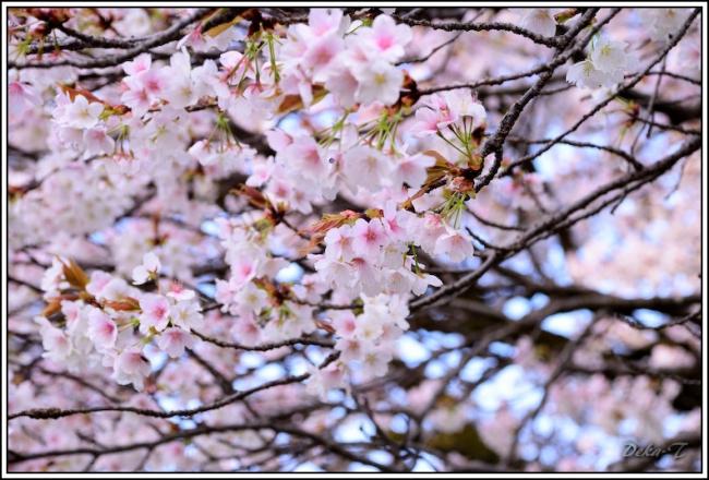 2014年4月5日一心行の大桜 (51)