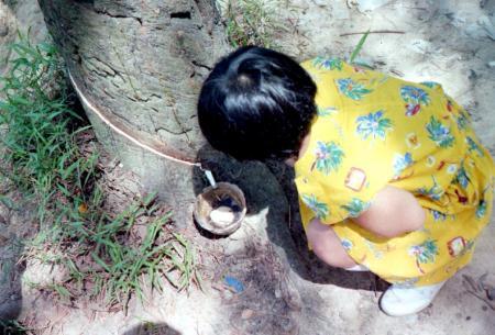6_ゴムの樹液採取