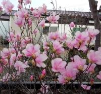 花14-04-09 1八潮つつじ