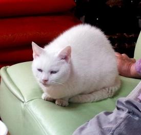 動物14_4_28 白い猫