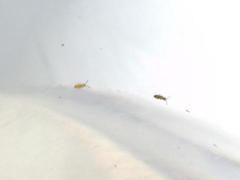 ウトリに付く虫