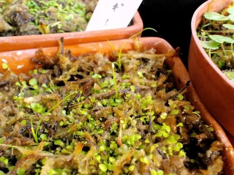 ウサギゴケ花芽