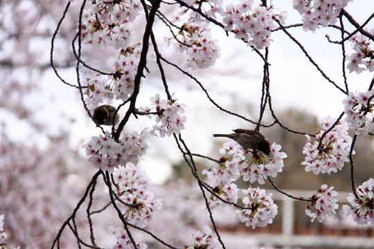 20140406_shukugawa_park-04.jpg