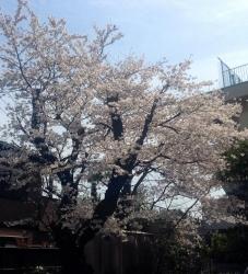 三橋公民館の桜 2014