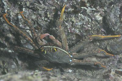 イワガニ科の1種