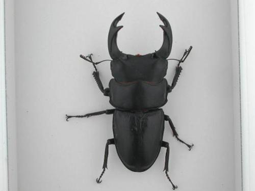 国産オオクワガタ♂79mm大型成虫ペア(Dゴールド83系統)のコピー