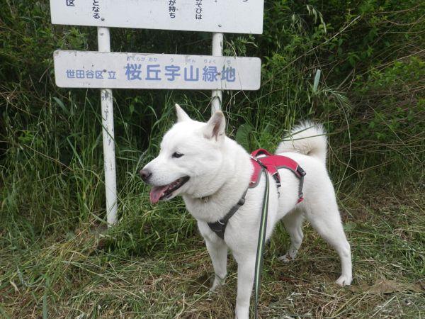 2014.5.15 桜丘宇山緑地3
