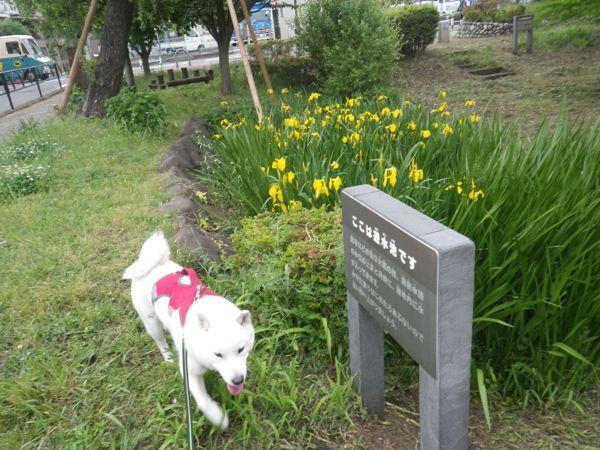 2014.5.15 桜丘宇山緑地1