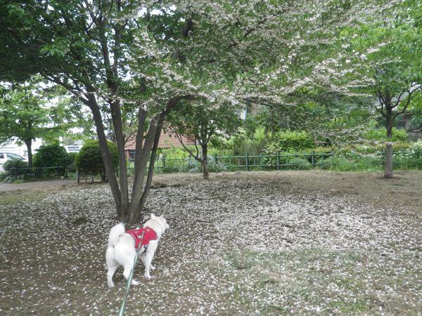 2014.5.15 桜丘宇山緑地2