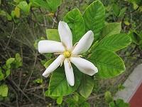 Cape Jasmine Gardenia jasminoides 101(小)