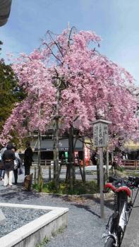 高野山のしだれ桜 (2)