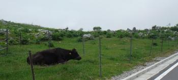 カルスト台地の牛さん