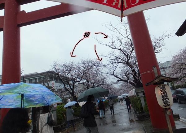 桜並木?1