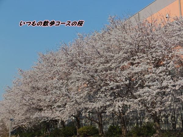 桜いつもの散歩コースの